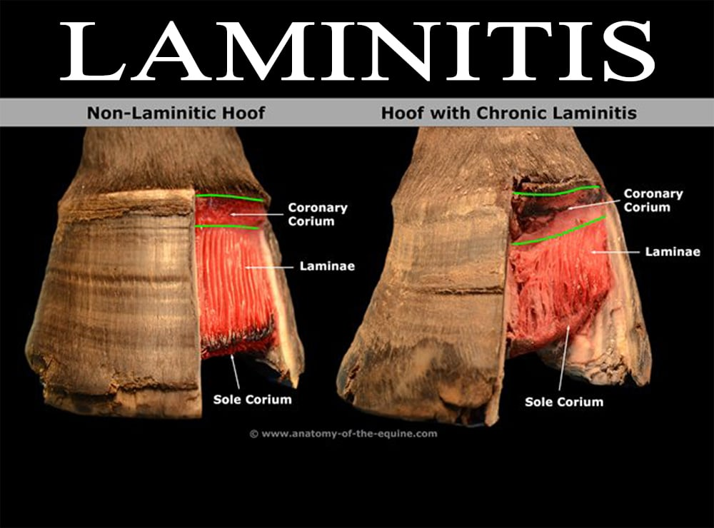 Nutrition Related Laminitis