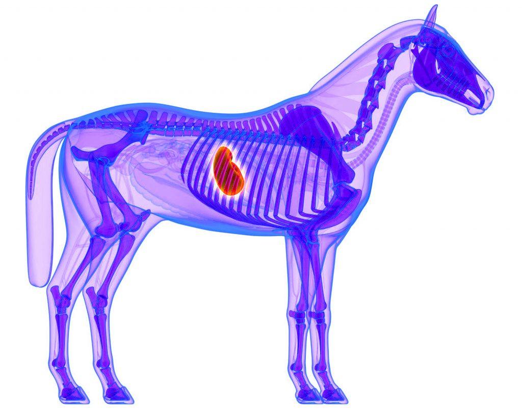 Ulcers Horses
