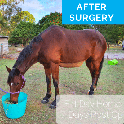 Horse after colic surgery
