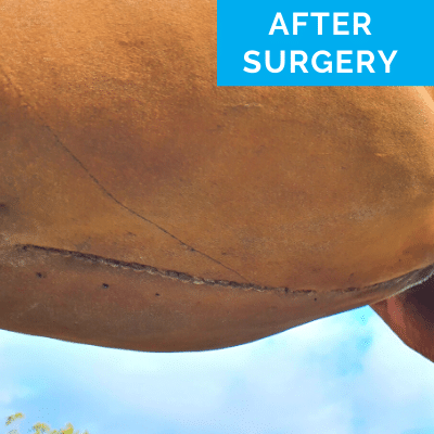 Horse after colic surgery - detail