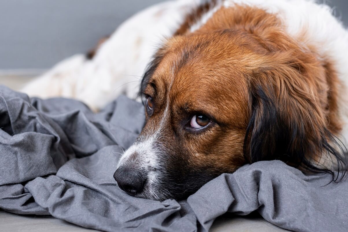 Symptoms of Leaky Gut Condition in Dogs (1)