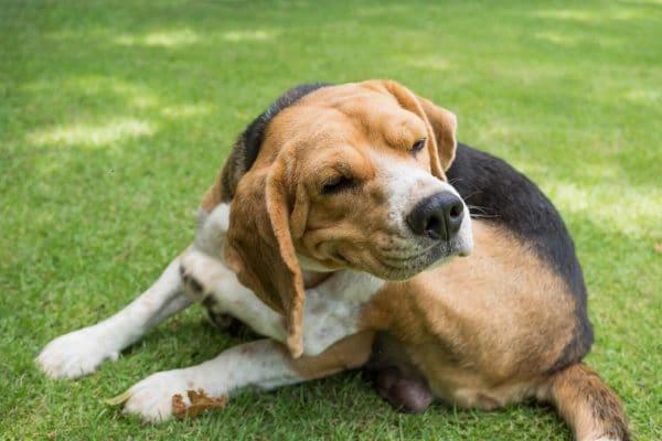 Grass Allergy in Dogs - Symptoms - CEN Dog Nutrition